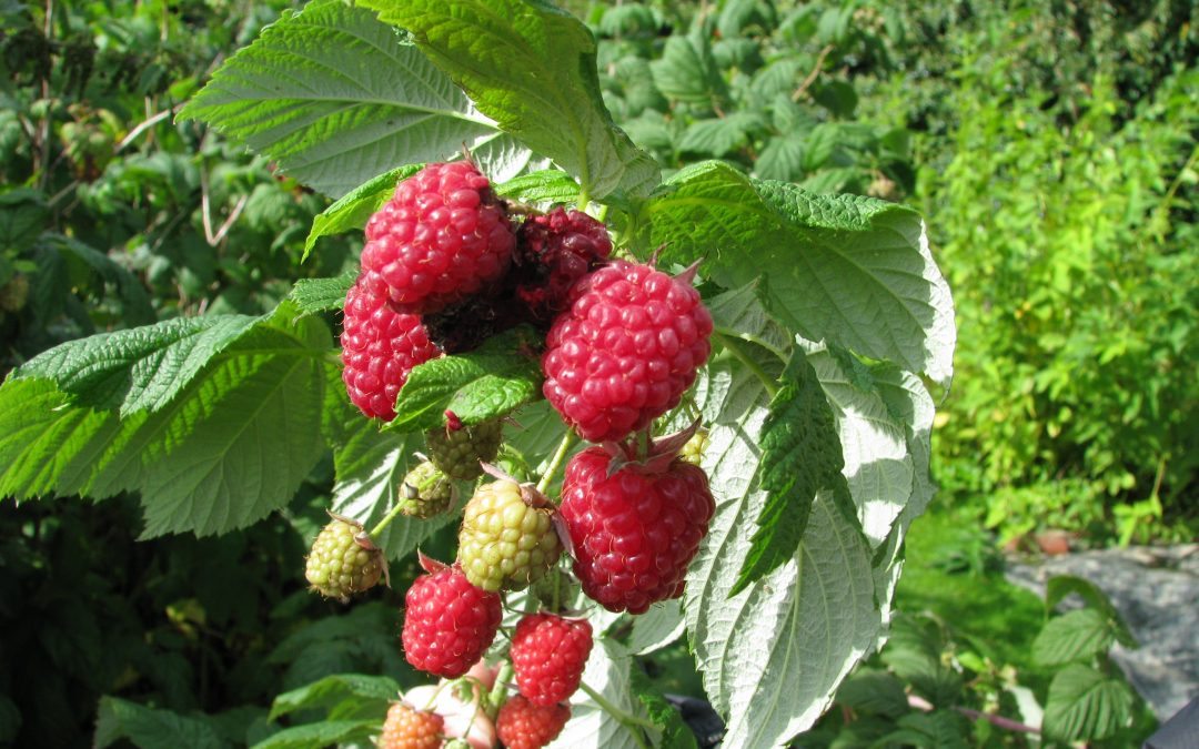 Raspberry Trouble –  I am not alone with bad raspberries this year